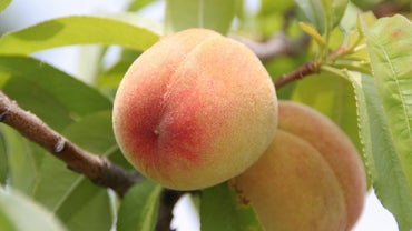 When Are Peaches in Season?