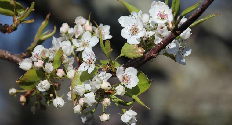 What Are Some Pear Tree Varieties?