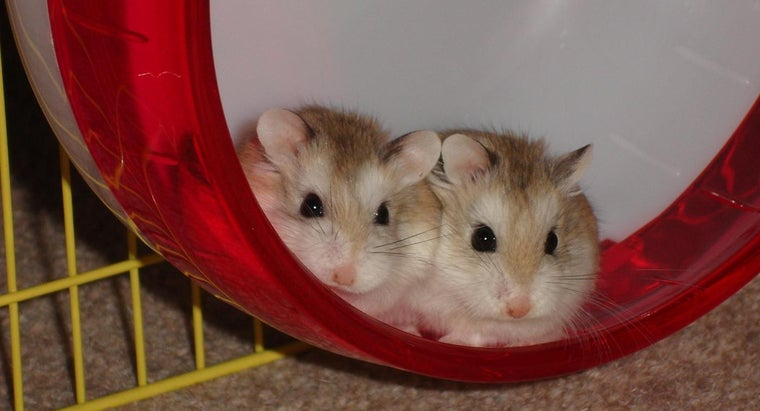 How Do People Become Hamster Breeders?