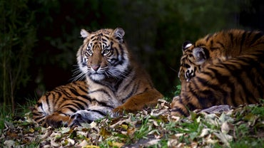 Why Do People Kill Tigers?