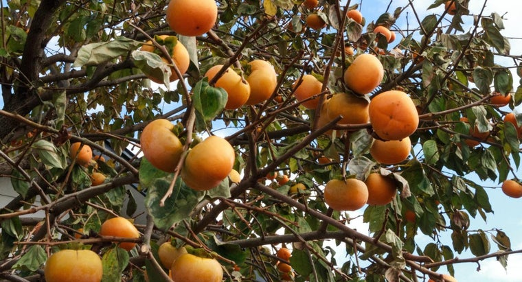 What Is a Persimmon Fruit?