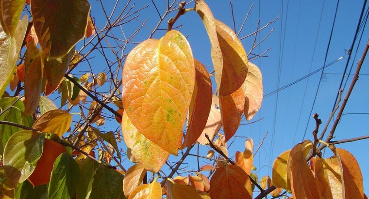 What Is Persimmon Leaf Used For?