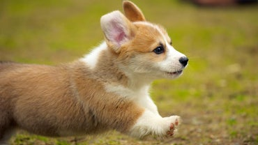 What Personality Type Is a Corgi?