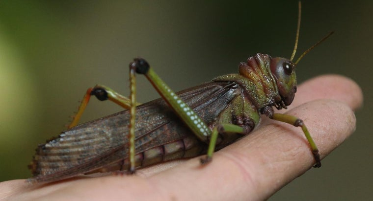 What Is the Phobia of Grasshoppers Called?