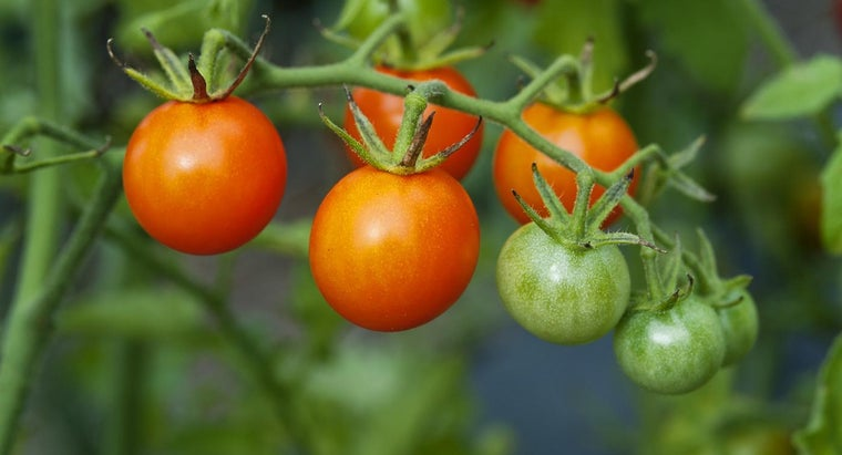 How Do You Pinch Off the Suckers on Tomato Plants?