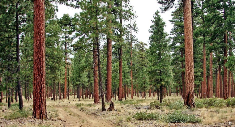 Where Do Pine Trees Come From?