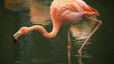 Where Do Pink Flamingos Live?