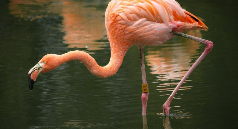 Where Do Pink Flamingos Live