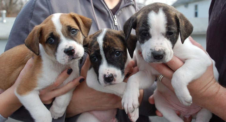 Where Are Pitbull Puppies Available for Free Adoption Online?