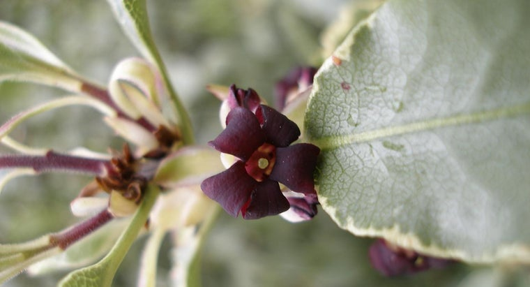 "What Is Pittosporum Tenuifolium ""Silver Sheen""?"