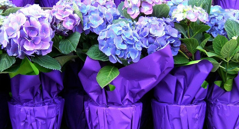 Where Do You Plant Hydrangeas?