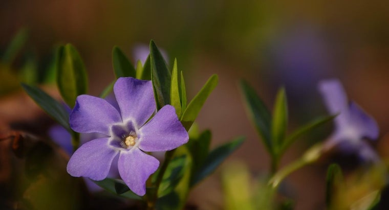 How Do You Plant Periwinkle for Ground Cover?
