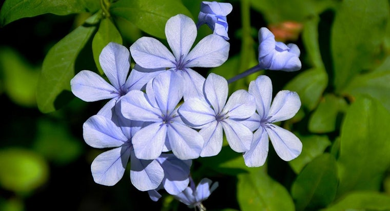 Is Plumbago a Good Ground Cover?