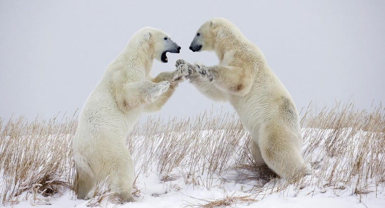 What Is a Polar Bear's Defense?