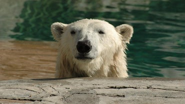 How Do Polar Bears Adapt to Their Habitat?