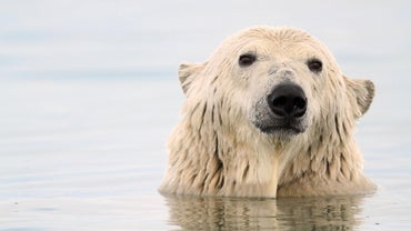 How Do Polar Bears Adapt to Survive?