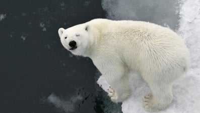 Why Do Polar Bears Have White Fur?
