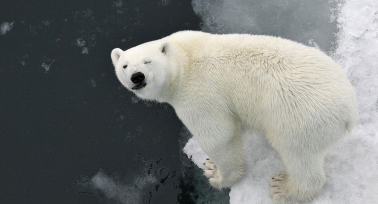 Why Do Polar Bears Have White Fur
