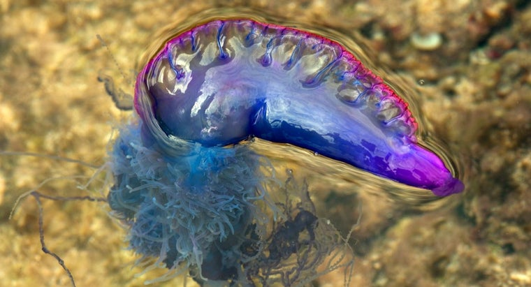 What Makes the Portuguese Man-of-War Unique?