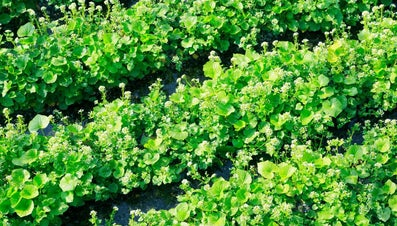 Is It Possible to Grow a Wasabi Plant at Home?
