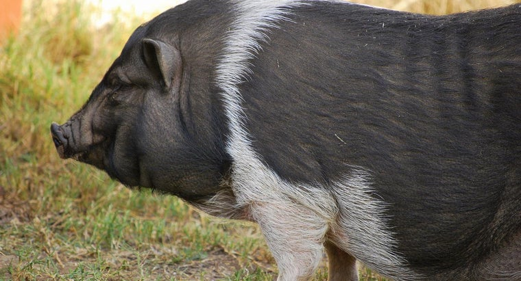 What Is a Pot-Bellied Pig?