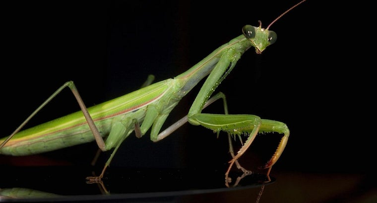 Where Do Praying Mantises Live?