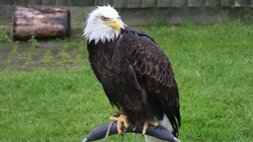 What Are the Predators of Bald Eagles?