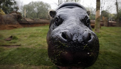 Which President Had a Pet Hippo?