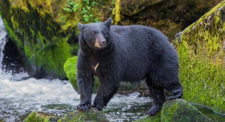 What Are the Prey and Predators of Black Bears?