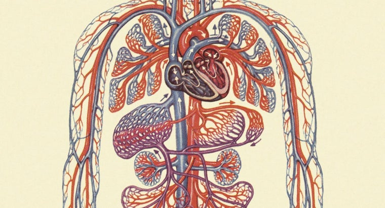 What Is the Primary Function of the Circulatory System?