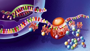 Where Are Proteins Made in a Cell?