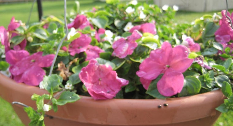 How Do You Prune and Care for Impatiens?