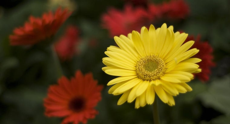 How Do You Prune Gerbera Daisies?