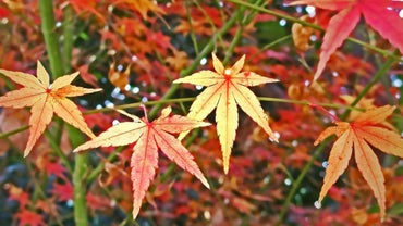 How Do You Prune a Japanese Maple Bush?