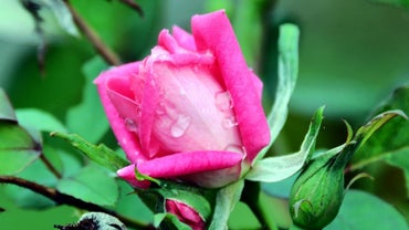 How Do You Prune Knockout Roses?