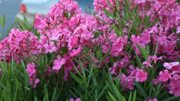 How Do You Prune Oleanders?