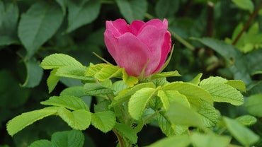 How Do You Prune a Rosa Rugosa?