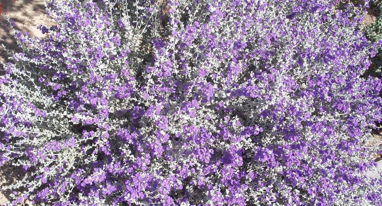 How so You Prune Texas Sage?