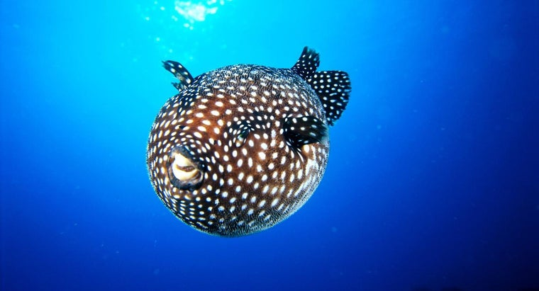 Where Do Puffer Fish Live?