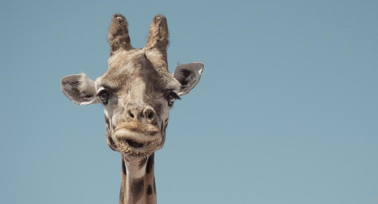What Is a Pygmy Giraffe?