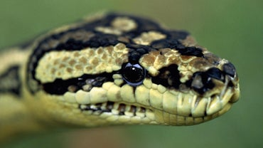 Are Pythons Poisonous?