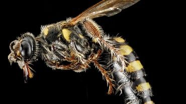 What Does a Queen Wasp Look Like?
