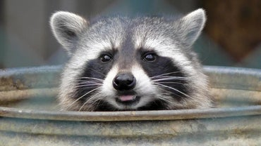 What Are a Raccoon's Natural Enemies?