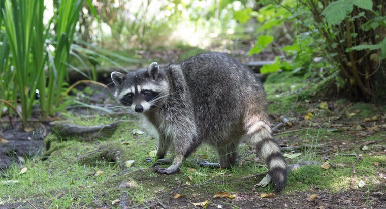 What Are Some Raccoon Trapping Tips?