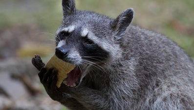 What Do Raccoons Eat?