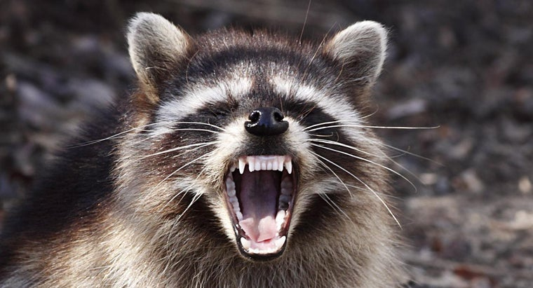 How Do Raccoons Protect Themselves?