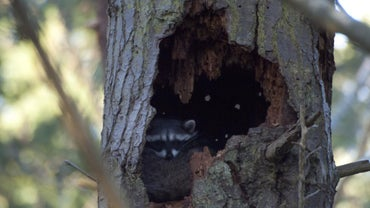 Where Do Raccoons Sleep?