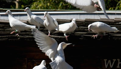 What Are Racing Pigeon Lofts?