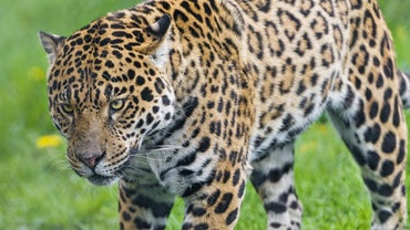 Which Rain Forests Do Jaguars Live In?