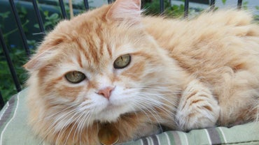 How Rare Are Female Orange Tabby Cats?